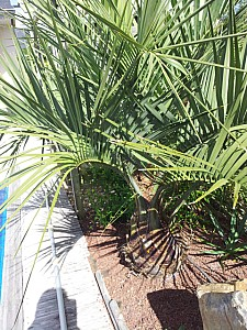 Thumbnail of Butia capitata-A.jpg