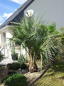 Thumbnail of Butia capitata-B.jpg