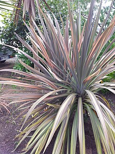 Thumbnail of Cordyline sans nom.jpg