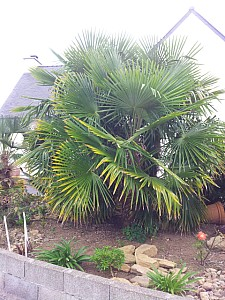 Thumbnail of Trachycarpus fortunei-groupe-de-3.jpg
