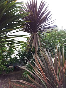 Thumbnail of cordyline australis red star-B.jpg