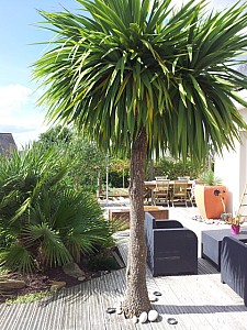 Thumbnail of cordyline australis-A.jpg