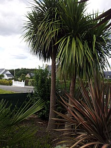 Thumbnail of cordyline australis-B.jpg