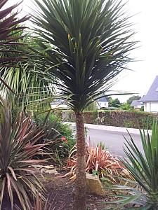 Thumbnail of cordyline australis-C.jpg