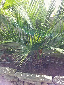 Thumbnail of jubaea chilensis-A.jpg