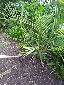 Thumbnail of jubaea chilensis-B.jpg