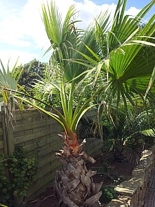 Thumbnail of washingtonia filifera.jpg